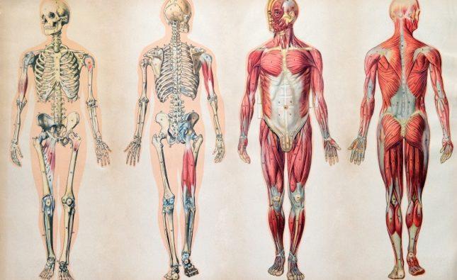 anatomia prawidłowa człowieka