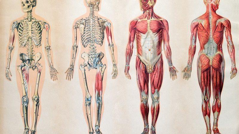 Anatomia prawidłowa człowieka – jak ją zrozumieć?
